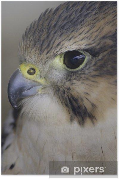 Poster Faucon lanier - Oiseaux