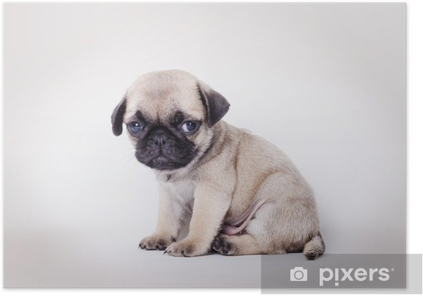 Fawn puppy pug sitting Poster - Pugs