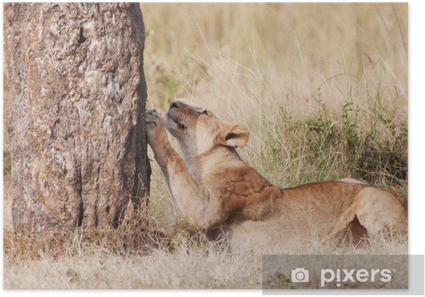 female lion sharpening its claws on a tree trunk Poster - Mammals