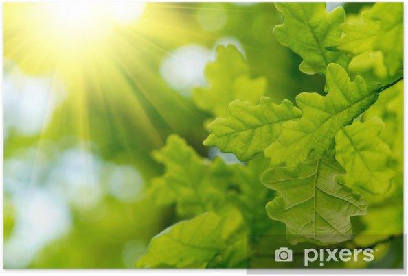 Poster Feuilles de chêne vert avec des rayons de soleil - Merveilles naturelles
