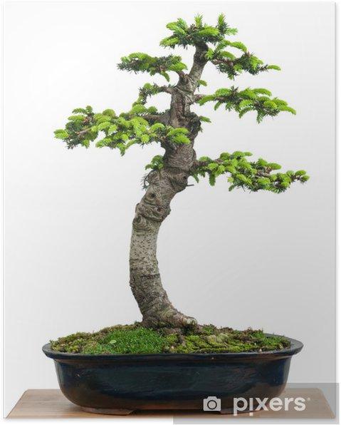 Poster Fichte (Picea orientalis) als Bonsai Baum - Maisons et jardins