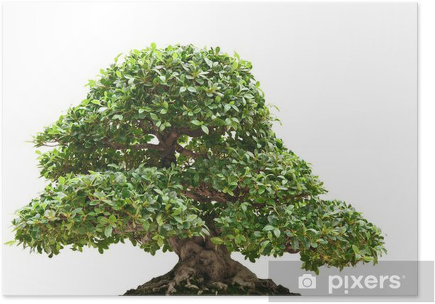 Ficus Bonsai Poster Pixers We Live To Change