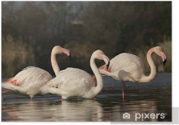 Poster Flamant rose, Phoenicopterus ruber - Oiseaux