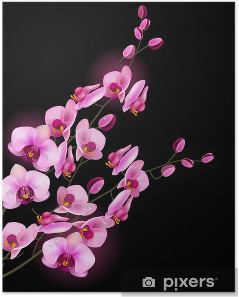 Poster Fleur d'orchidée rose isolé sur fond noir - iStaging 2