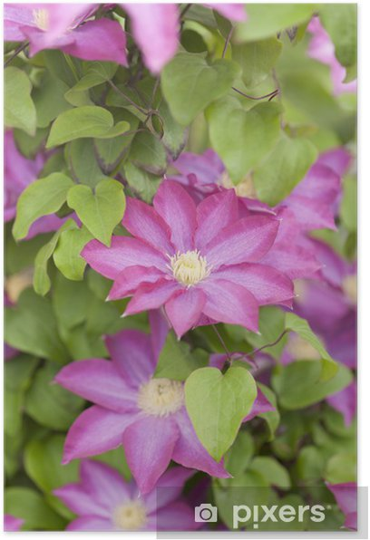 Poster Fleur de clématite - Fleurs