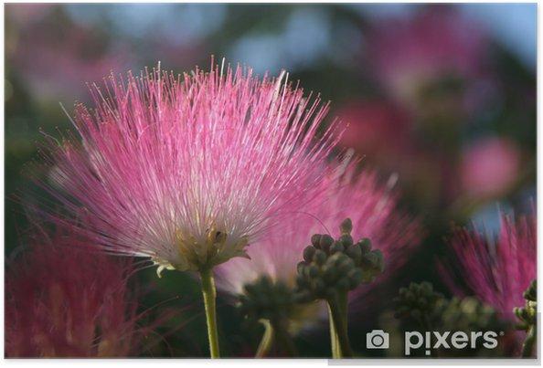 Poster Fleur de l'arbre de soie - Maisons et jardins