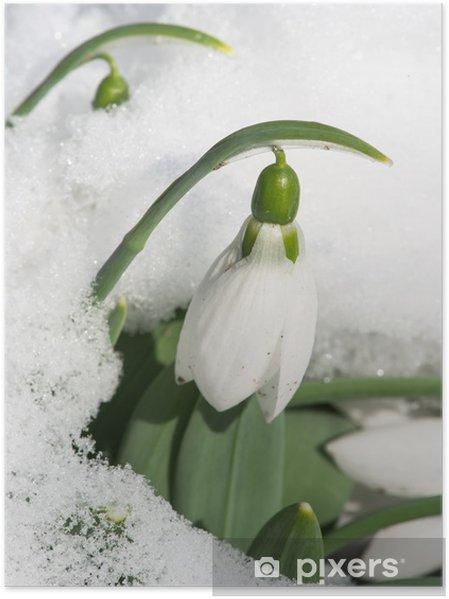Poster Fleur de perce-neige dans la neige - Fleurs