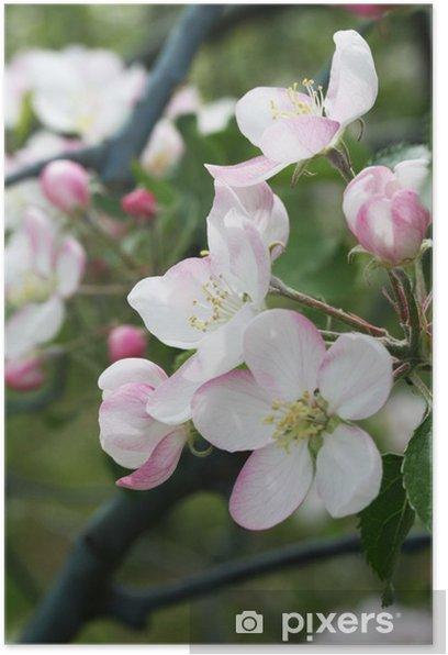 Poster Fleur de pomme sur la branche - Arbres