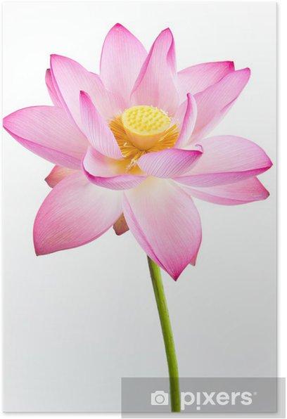 Poster Fleur rose de nénuphar (lotus) et le fond blanc. - Fleurs