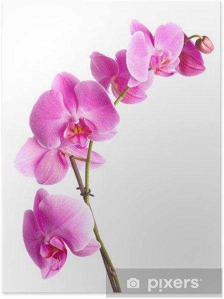 Poster Fleurs D Orchidee Rose Sur Un Fond Blanc Pixers Nous