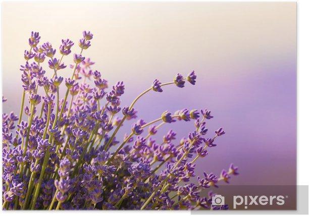 Poster Fleurs de lavande fleurissent l'heure d'été - Herbes