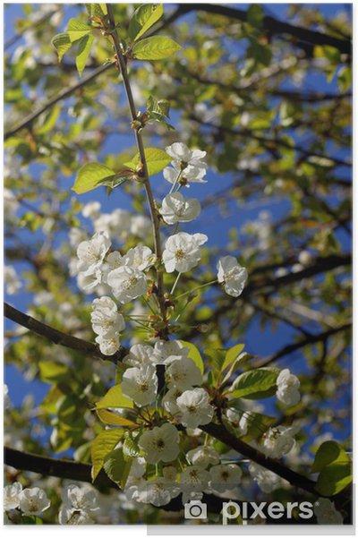 Poster Fleurs de merisier - Saisons