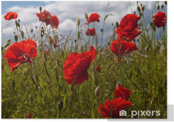 Poster Fleurs de pavot dans le soleil - Plantes