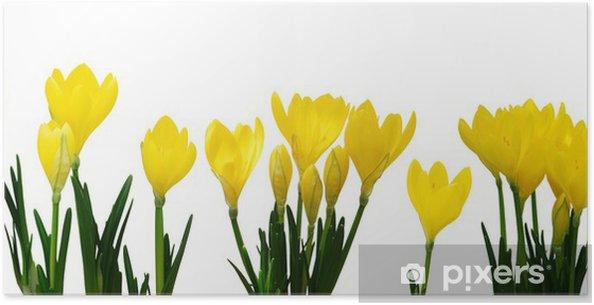 Poster Fleurs jaunes de crocus - Fleurs