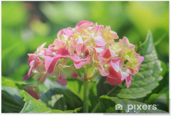 Poster Fleurs roses de plante d'hortensia Hortensia Ajisai - Fleurs