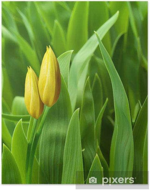 Poster Fleurs tulipes pétales jaunes - Fleurs