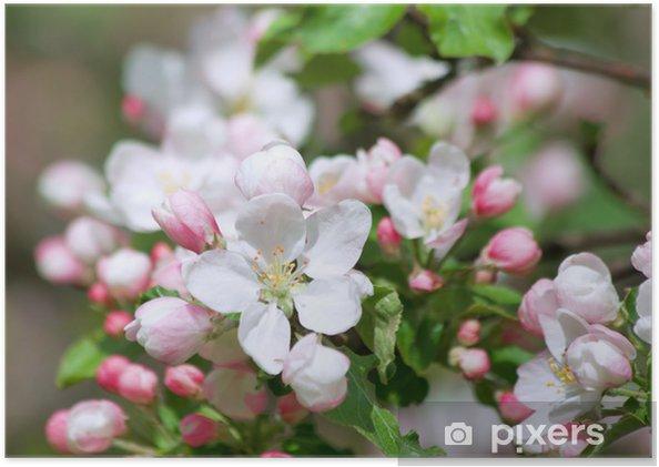 Póster Flor de manzano - Manzanos