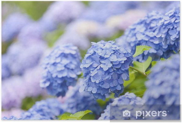 Póster Flores de hortensia - Flores