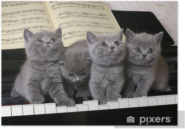 Four British kitten on the piano Poster - Themes