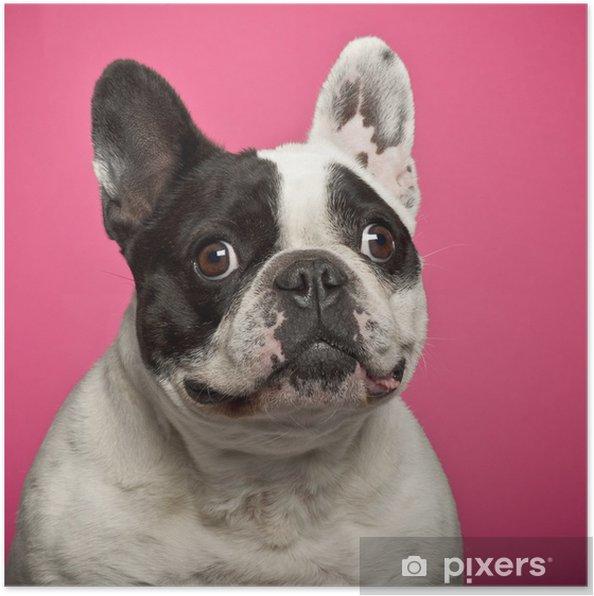 Poster Franse Bulldog, 5 jaar oud, tegen roze achtergrond - Franse Bulldogs