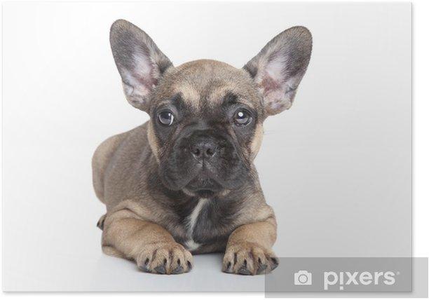 Poster Franse bulldog puppy - Zoogdieren