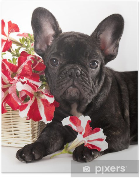 french bulldog and bouquet flowers Poster - French bulldogs