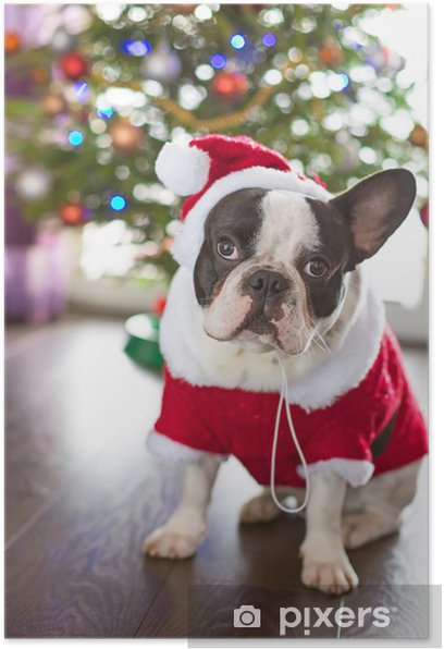 French bulldog dressed up in santa costume for Christmas Poster - French bulldogs