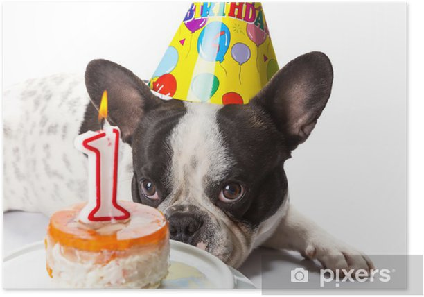 French bulldog on his first birthday with doggy cake Poster - French bulldogs