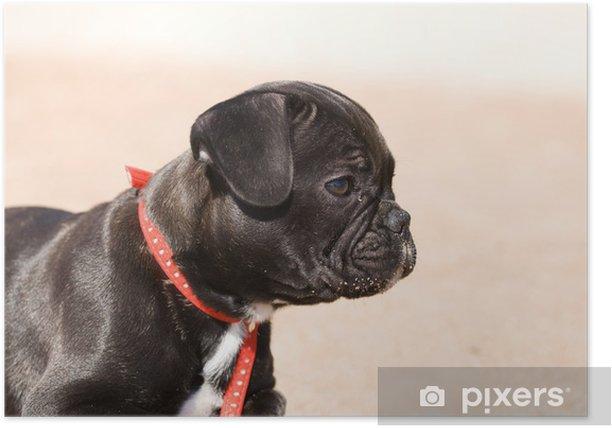 French bulldog puppy Poster - French bulldogs