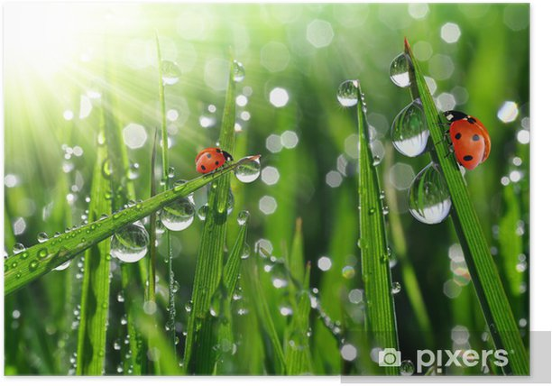 fresh morning dew and ladybird Poster - Other Other