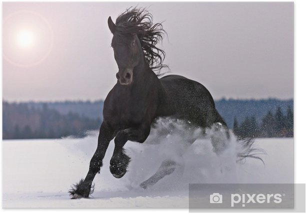 Frisian horse on snow Poster - Themes