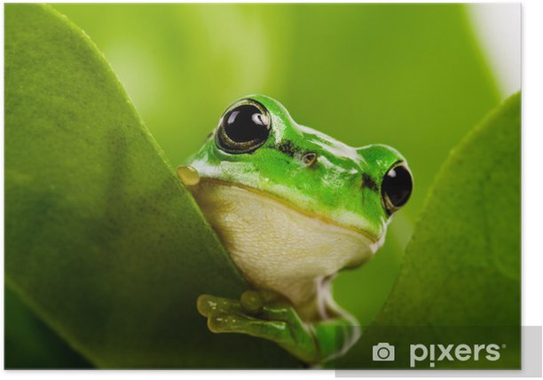 Frog peeking out Poster - Frogs