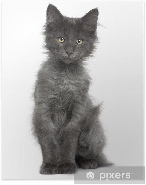 Front View Of Norwegian Forest Cat Kitten Sitting Poster Pixers We Live To Change