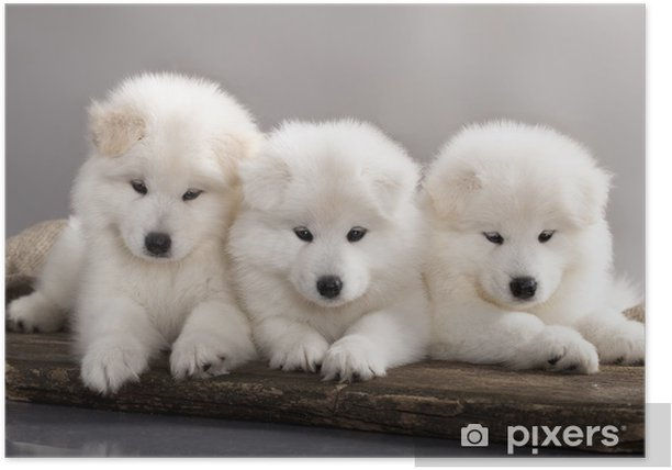 funny puppies of Samoyed dog Poster - Mammals