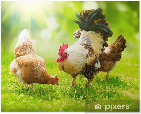 Póster Gallo y pollos. Rango Cock and Hens gratuito - Agricultura
