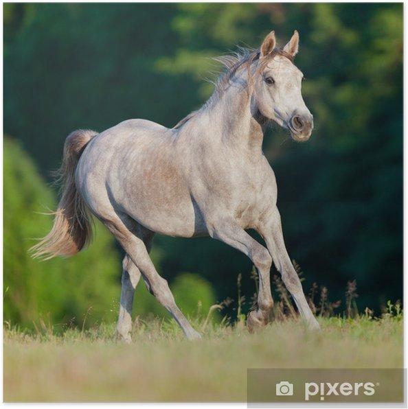 Poster Galop cheval arabe gris dans la forêt - Thèmes