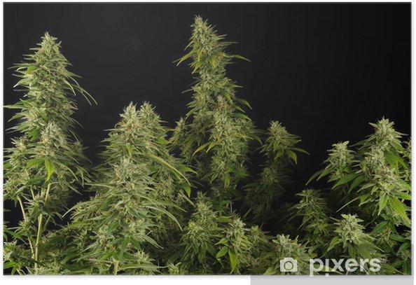 Póster Ganja11 - Plantas