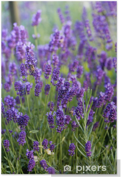 Gardens with the flourishing lavender Poster - Themes