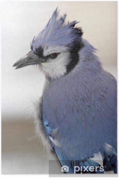 Poster Geai bleu gros plan dans la neige - Oiseaux