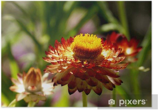 Poster Gebrande oranje strawflower in het zonnetje - Bloemen
