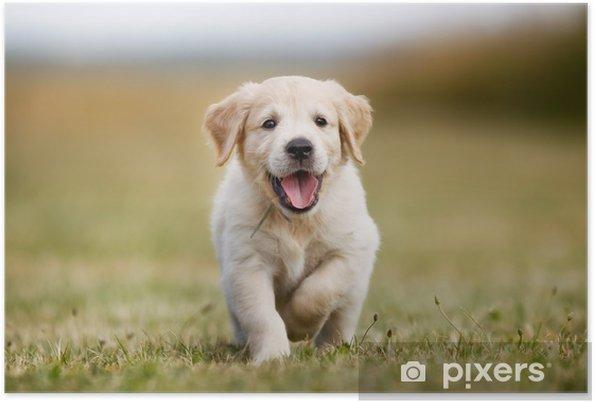 Poster Gelukkig golden retriever pup - iStaging