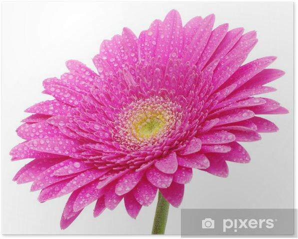 Poster Gerbera fleur - Fleurs