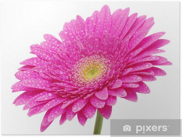 Póster Gerbera flor - Flores