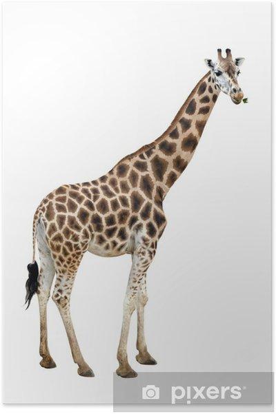 Poster Girafe - Mammifères