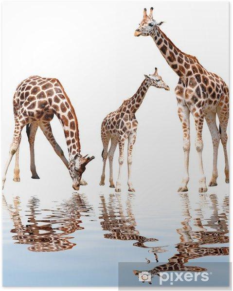 Poster Girafes isolés - Mammifères