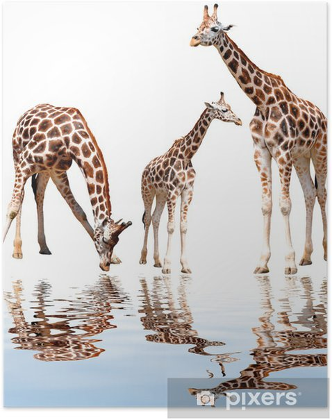 giraffes isolated Poster - Mammals