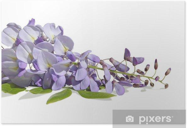 Poster Glycine mauve - Fleurs