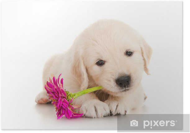 Golden Retriever Puppy with Flower Poster - Mammals