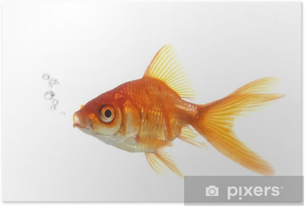 Poster Goldfish Blowing Bubbles - Sticker mural