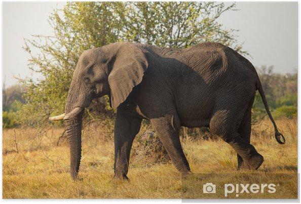 Poster Grand éléphant d'Afrique - Mammifères